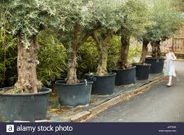 old ancient olive trees olives olive plants in pots for sale