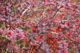 how to grow the purple leaf plum tree