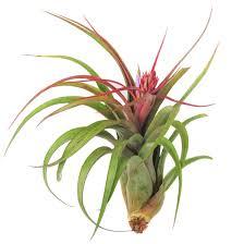 Air Plants Amazon Com Large Air Plants Large Xerographica Air Plants