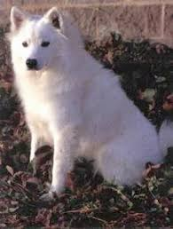 american eskimo dog what do they eat american eskimo dog breed information and pictures