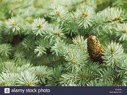 green needle pine tree with cones stock photo royalty free image