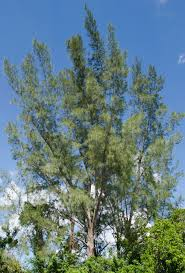 native plants sunshine coast longboat proposes bounty for australian pines longboat key