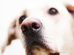 depigmentation disorders in dogs changing skin color