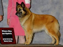 belgian sheepdog breeds intention hill puppies for sale