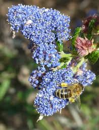 new jersey native plants ceanothus march bee garden plant of the month the bee gardener