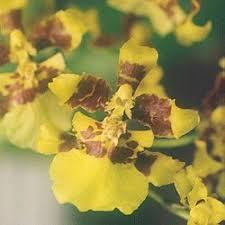 oncidium orchid oncidium