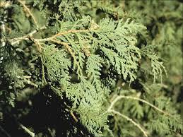 isu forestry extension tree identification northern white cedar