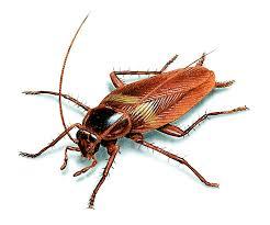 brown banded cockroach u2013 control u0026 identification u2013 orkin