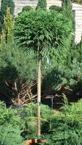 best 25 cedar trees for sale ideas on where is cyprus