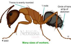 carpenter ant identification resources nebraska extension