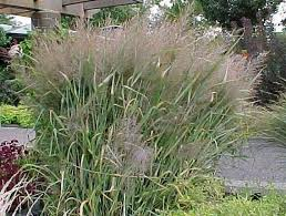 9 best hardy ornamental grasses images on ornamental