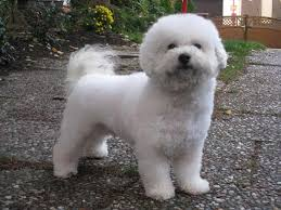 poodle y bichon frise old english terrier dog breed standards