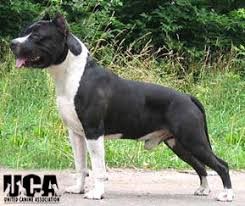 american pitbull terrier natural ears american pit bull terrier information and pictures united canine