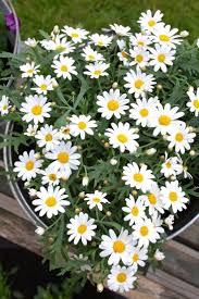 1337 best daisy u0027s and lily of the valley images on pinterest