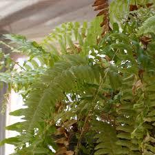boston fern problems u2013 learn about diseases of boston fern plants