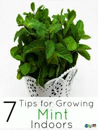 Herbs Indoors 7 Tips For Growing Mint Indoors Gardening Ideas Tips U0026 Tricks