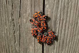 wanzen nabu insekt des jahres 2007 die ritterwanze nabu