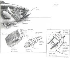 fish anatomy internal image collections learn human anatomy image