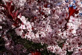 blooms flowers file plum tree flowers blooms west virginia forestwander jpg