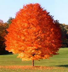 october maple tree maple tree growing tree and