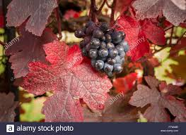 ripe black ornamental grapes and vine leaves in an garden