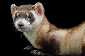 saving endangered ferrets u2026 with peanut butter