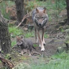 park wolf cub litter brings european wolves back to scotland