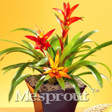 ornamental pineapple seeds indoor potted ornamental flower seeds