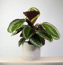 calathea cobra pink in concrete cool indoor plants pinterest