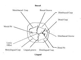 file outline drawing mand1stmolar jpg wikimedia commons