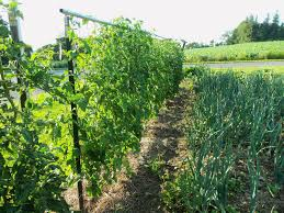 Tomatoes Trellis Whizbang Trellis Instruction How To Maket Post Trellis Spans