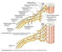 Bicep Innervation Imagequiz Brachial Plexus Muscle Innervation