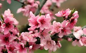 flower flowers apple blossoms tree pink nature cherry