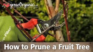 Blackmoor Fruit Trees - how to prune organic bare root fruit trees youtube