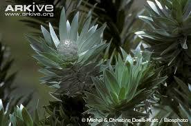 silver tree photo leucadendron argenteum g78158 arkive