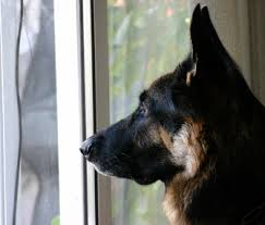 belgian shepherd how to train how do i calm my dog down when he gets excitable around guests