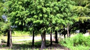 plant bald cypress tree correctly fast growing shade trees