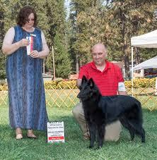 belgian sheepdog michigan blackforest belgian sheepdogs groenendael u2013 we breed family dogs