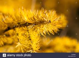 macro view of a larch tree branch and needles of a yellow color