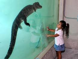 bartender resume template australia zoo crocodile attack in pool a child watches an alligator swim as part of the gator x treme