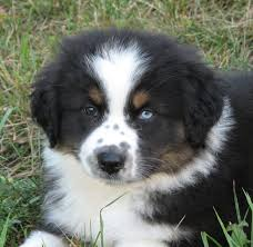 1 month old australian shepherd faithwalk aussies eyes pigment markings