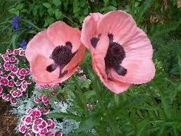 21 best poppies images on poppies