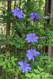 best 25 clematis varieties ideas on pinterest clematis plants
