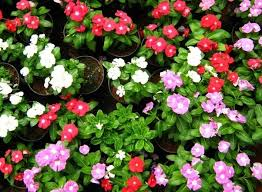 flower plants what flowering plants should i grow in my garden during hot summers