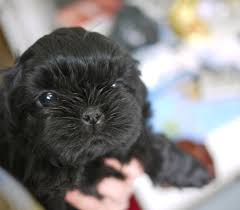 affenpinscher wiki out and about bellypleasures