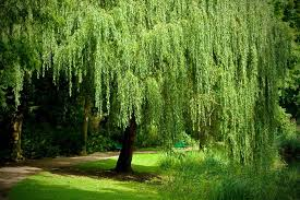 growing a weeping willow tree salix babylonica