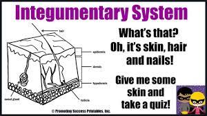 integumentary system function human body skin hair nails anatomy