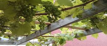 Planting Grapes In Backyard 5 Designs For Growing Food Vertically The Permaculture Research
