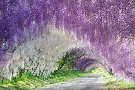 wisteria tree tunnel in japan