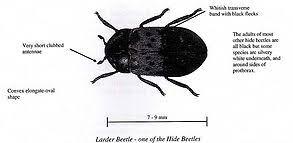 Biscuit Beetle In Bedroom Identify Your Pest